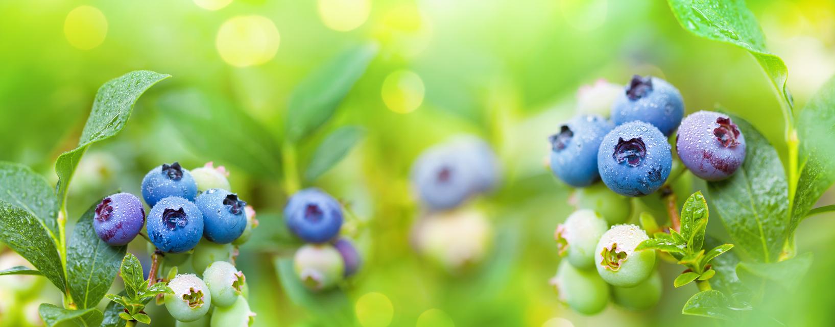čučoriedky v záhrade