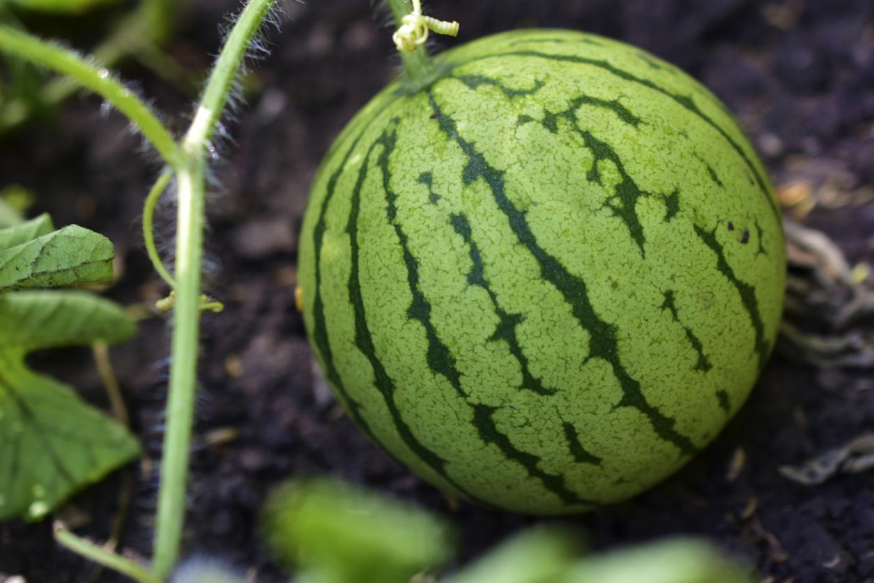 pestovanie červeného melónu