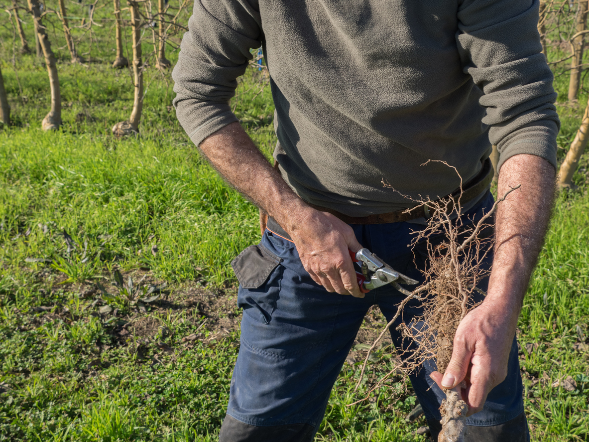zastrihovanie koreňov