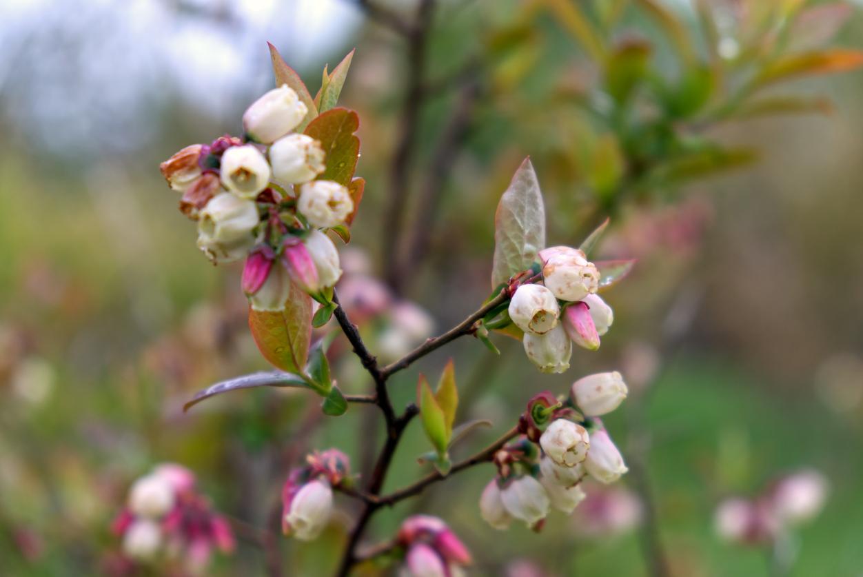 kvitnúce čučoriedky na jar