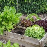 pestovanie šalátovej zeleniny