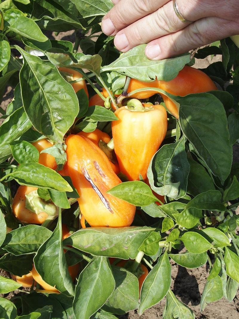 Slnečný úpal na paprike
