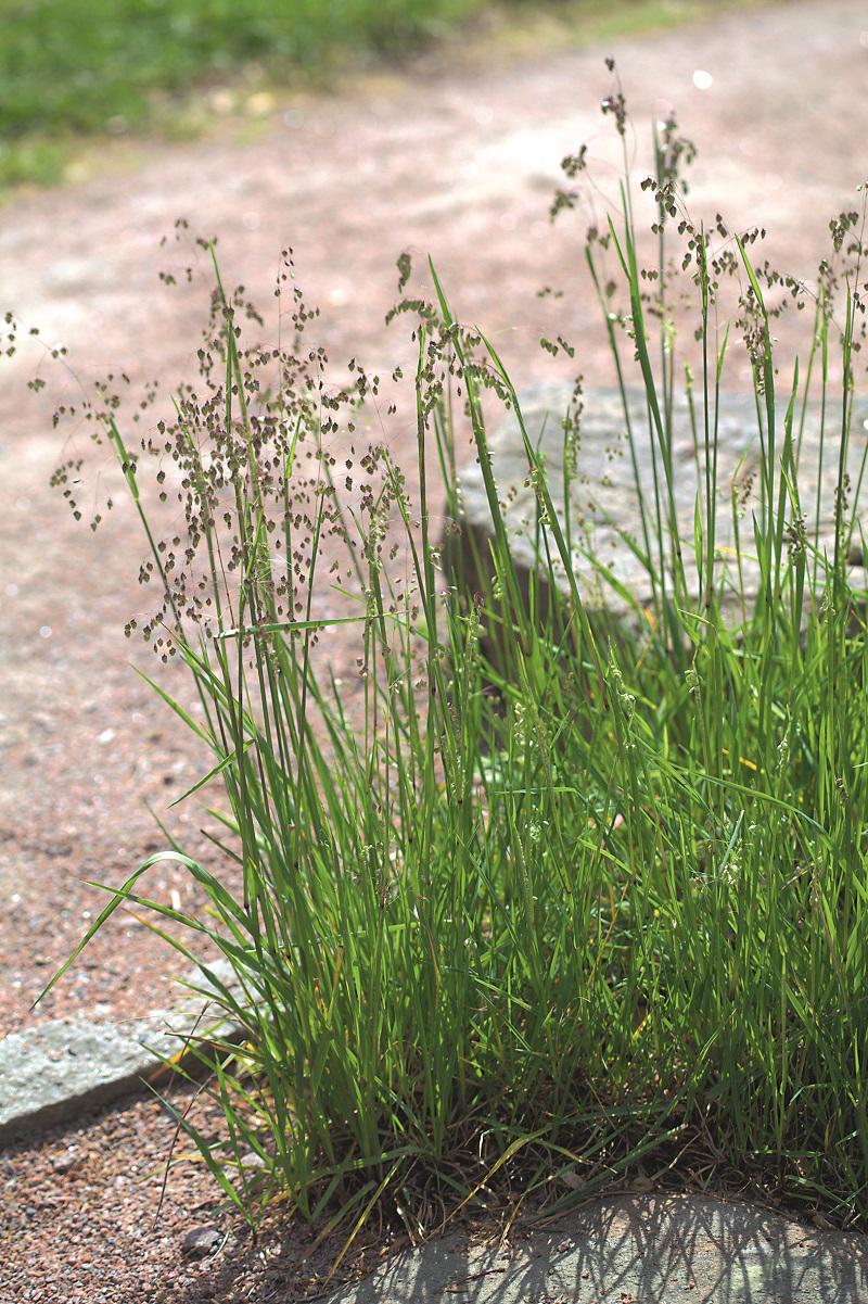 Tráva kraslica