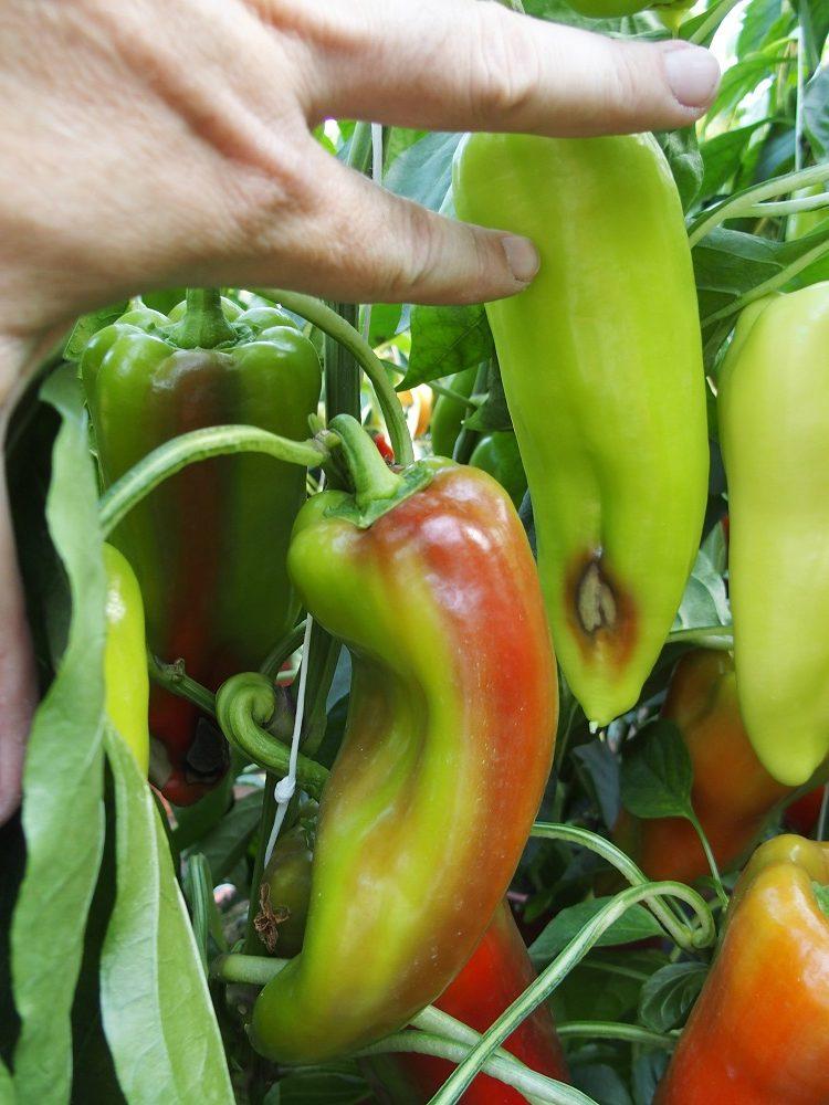 Hnilé plody papriky