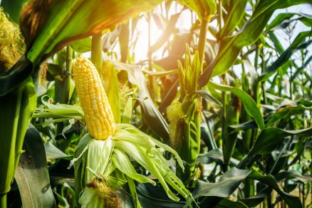 pestovanie kukurice