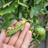 Septóriová škvrnitosť rajčiakov