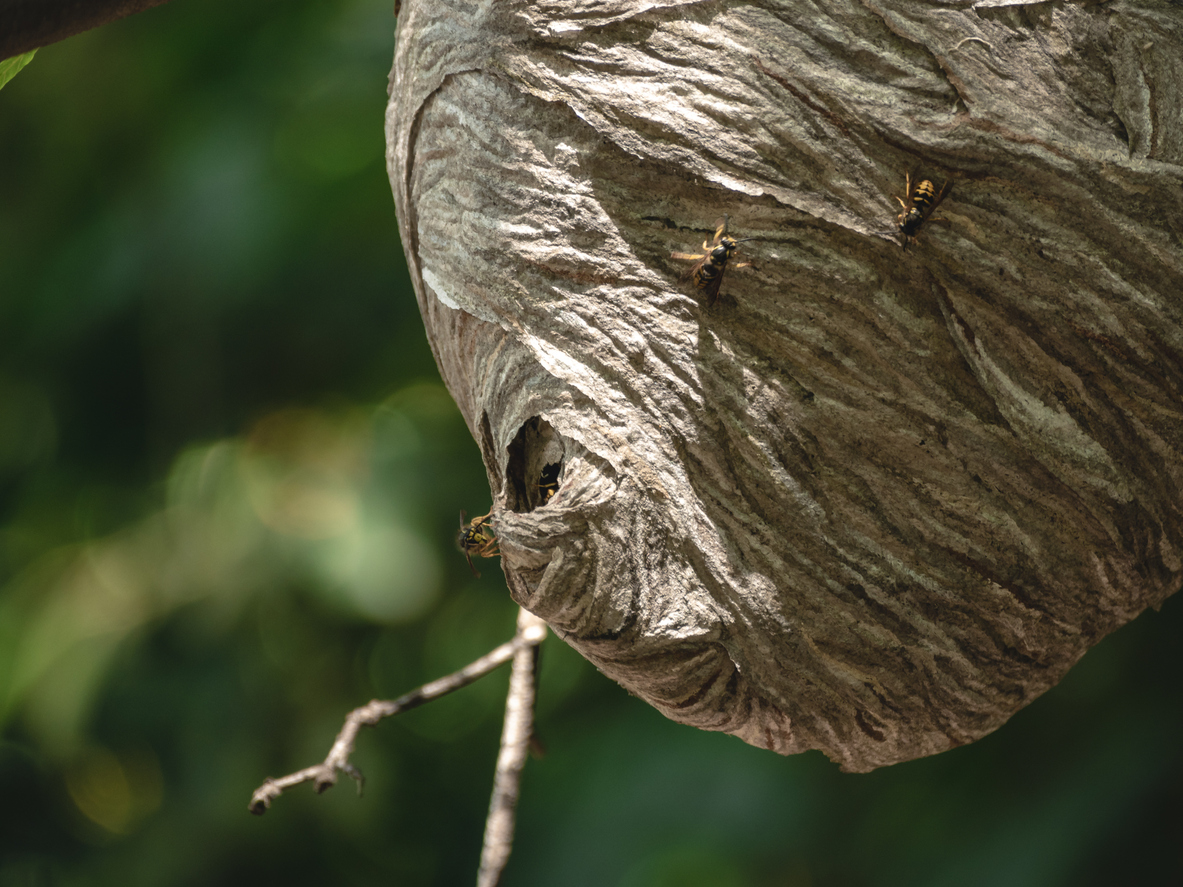osie hniezdo