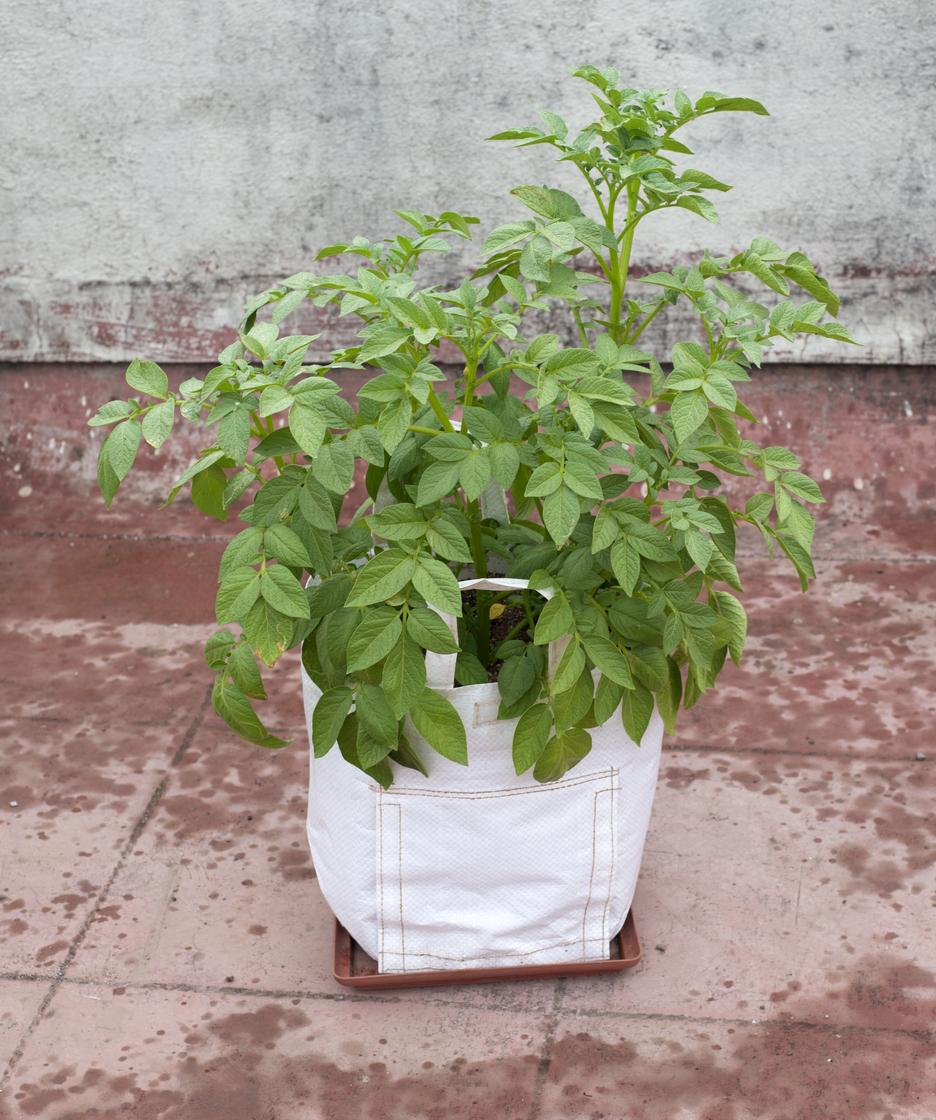 pestovanie vo vreciach