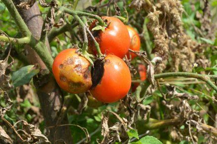 Fytoftóra zemiaková na rajčiakoch