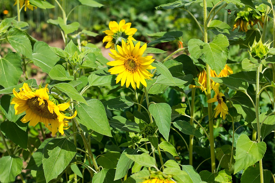 slnečnice v záhrade