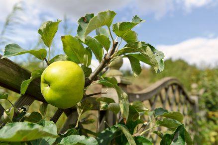 ako podporiť tvorbu púčikov na jabloni