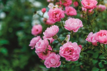 Ruže v záhrade