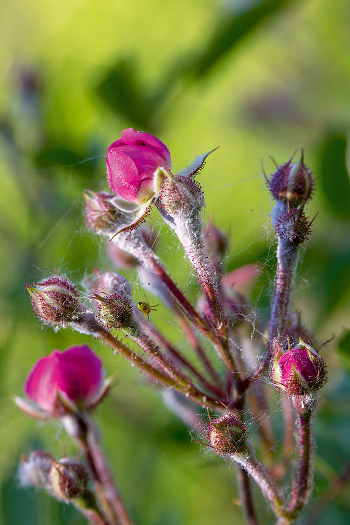 Múčnatka na kvetných púčikoch ruže