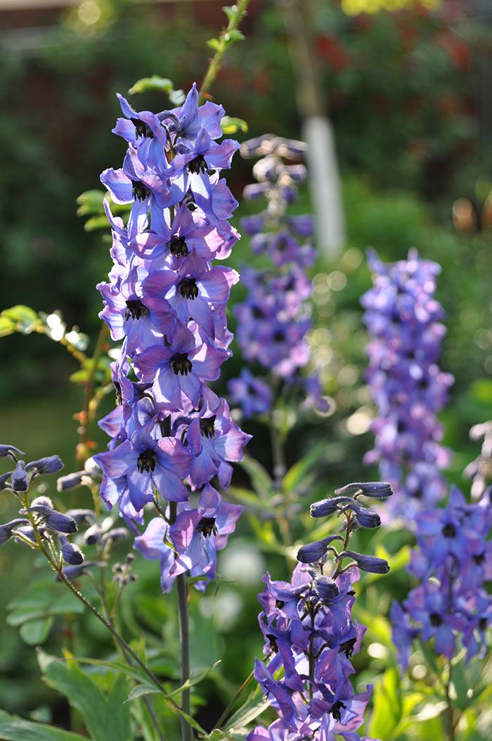 Silným spätným rezom trvaliek zabezpečíte druhé kvitnutie (stračonôžka, šalvia, rebríček) i nové listové výhonky (alchemilka, zvončeky).