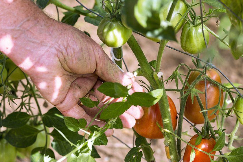 Starostlivosť o rajčiny v lete