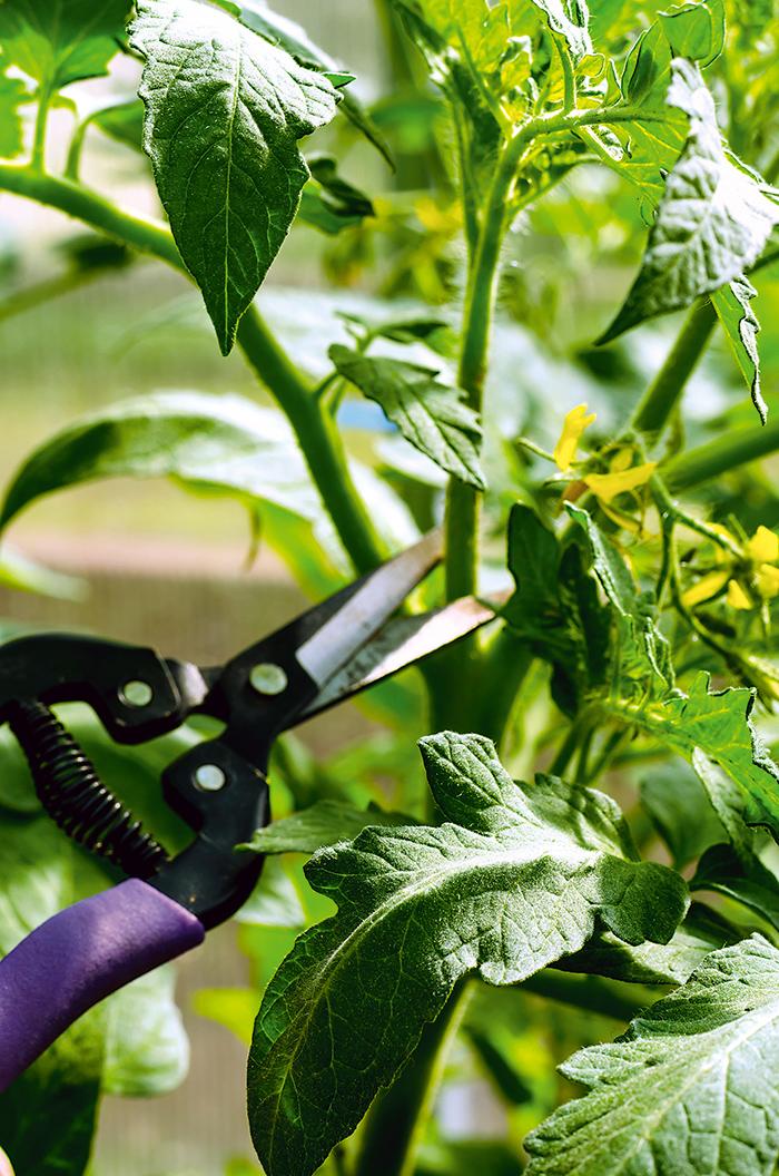 urýchlenie dozrievania plodov kolíkových rajčín v záhone