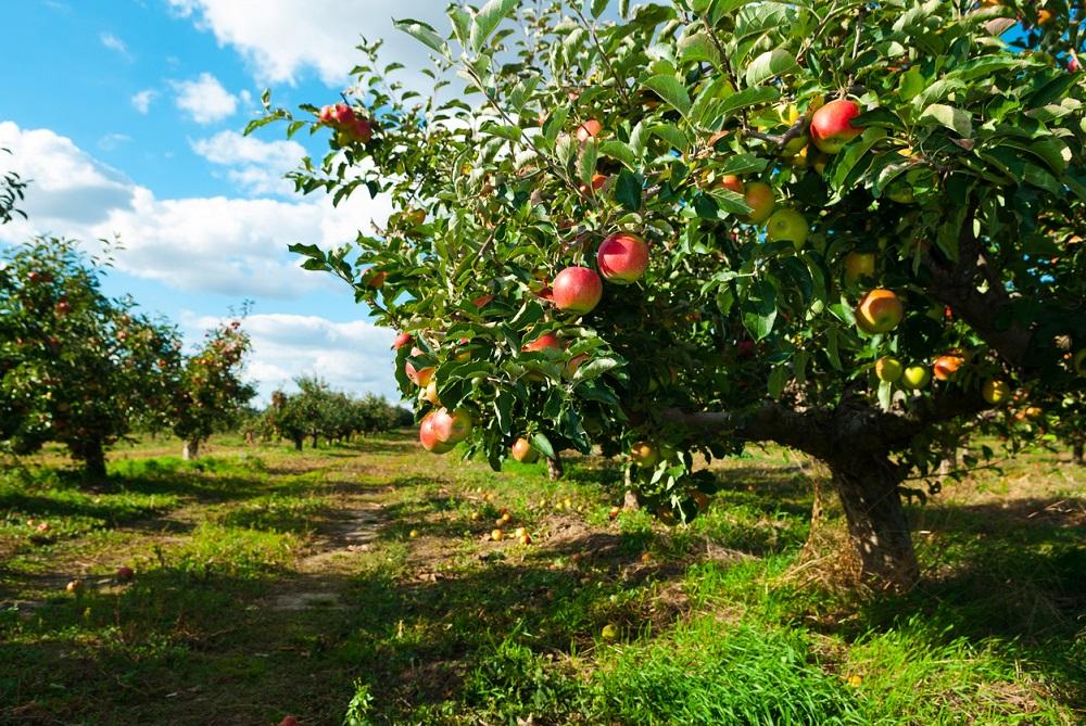 Zrelé jablká