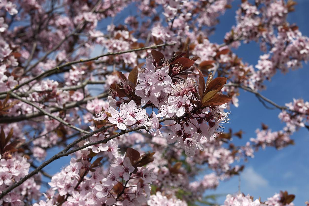 kvitnúca mirabelka