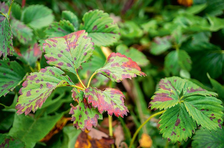 Fialová škvrnitosť jahodových listov