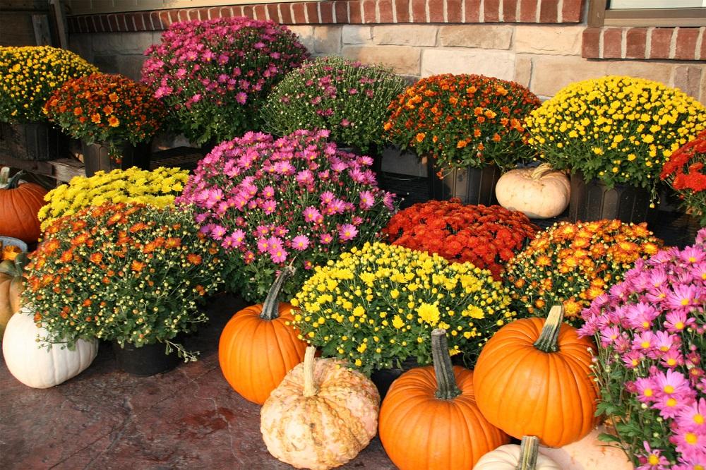 Chryzantémy na jeseň
