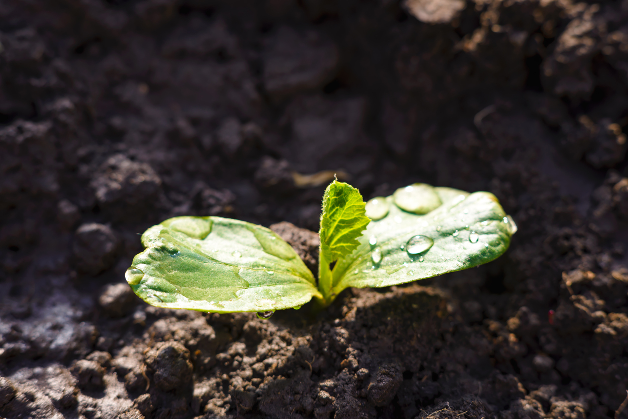 kvapky vody na listoch rastliny