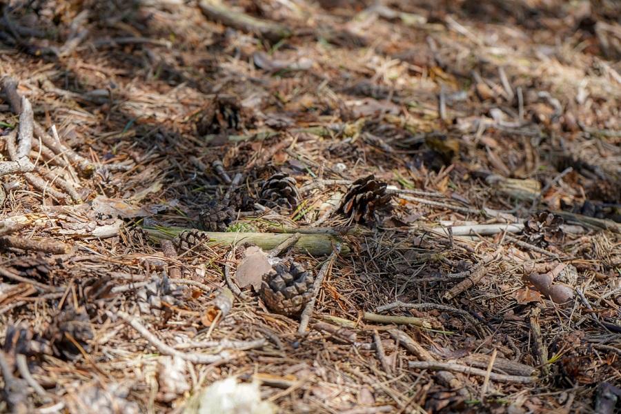 borovicové ihličie