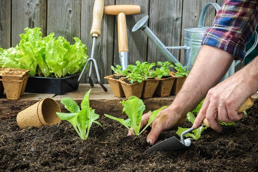 sadenie šalátu
