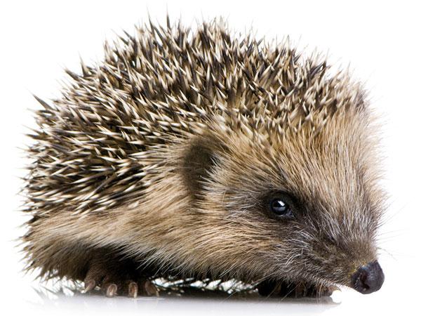 Zachráňme ježka: Starostlivosť a prezimovanie v záhrade | Urob si sám