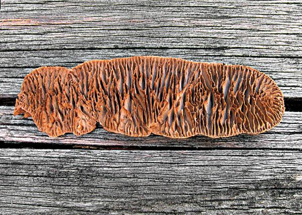 Trámovka plotová spôsobuje hnedú hnilobu dreva.