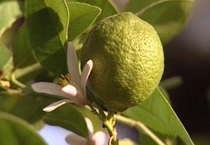 ako si vypestovat rodiace citrusy video 55 big image