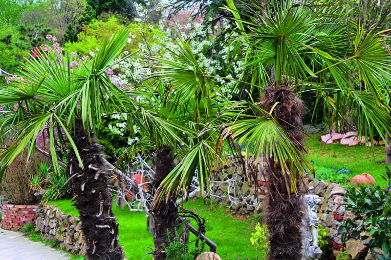V zime treba chrániť predovšetkým kmeň a listové srdiečka paliem.