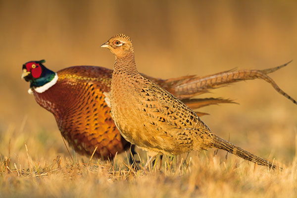 Veľké vtáky v horúcej mláďatá