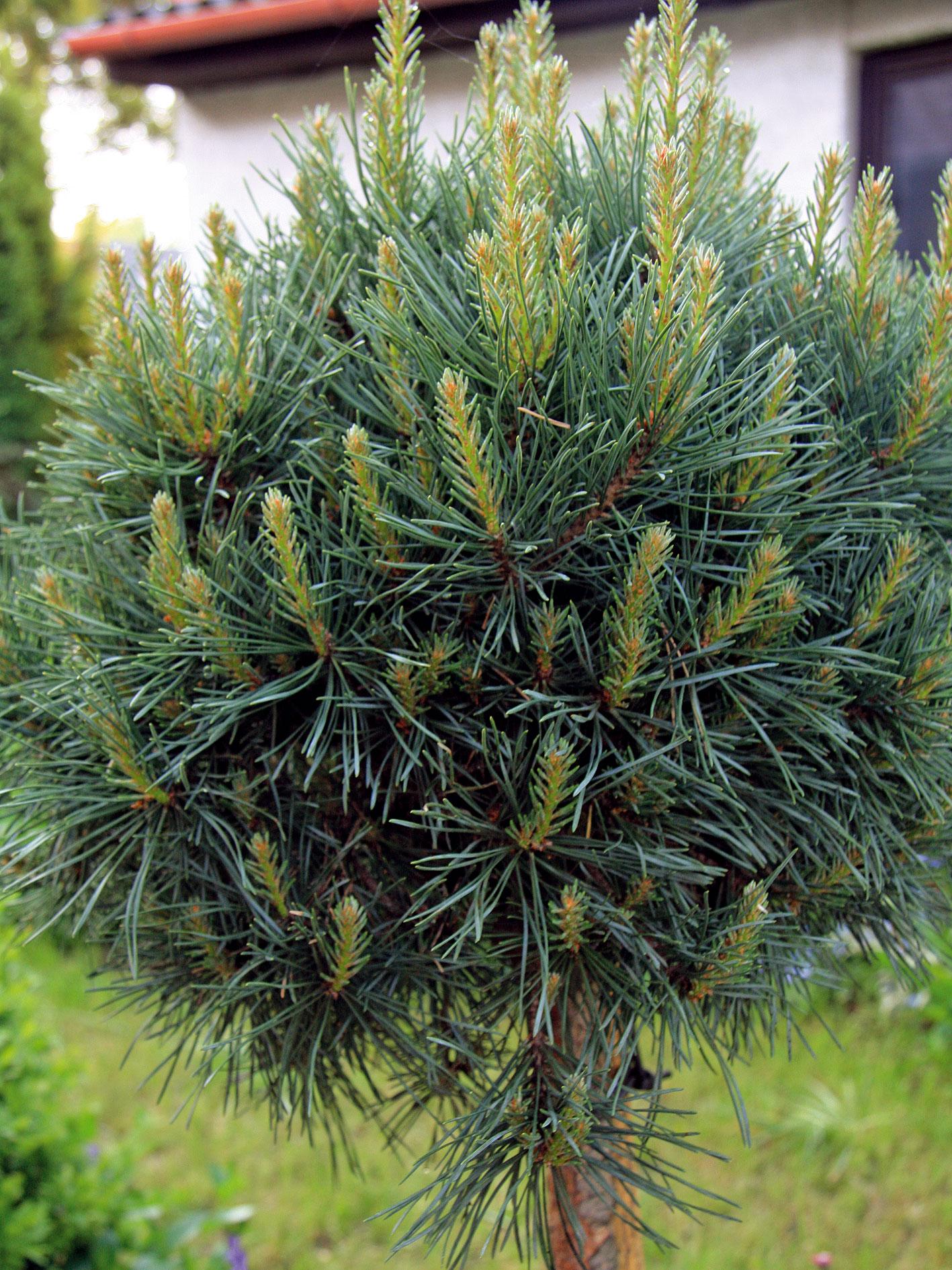 Borovica sosna (Pinus sylvestris)