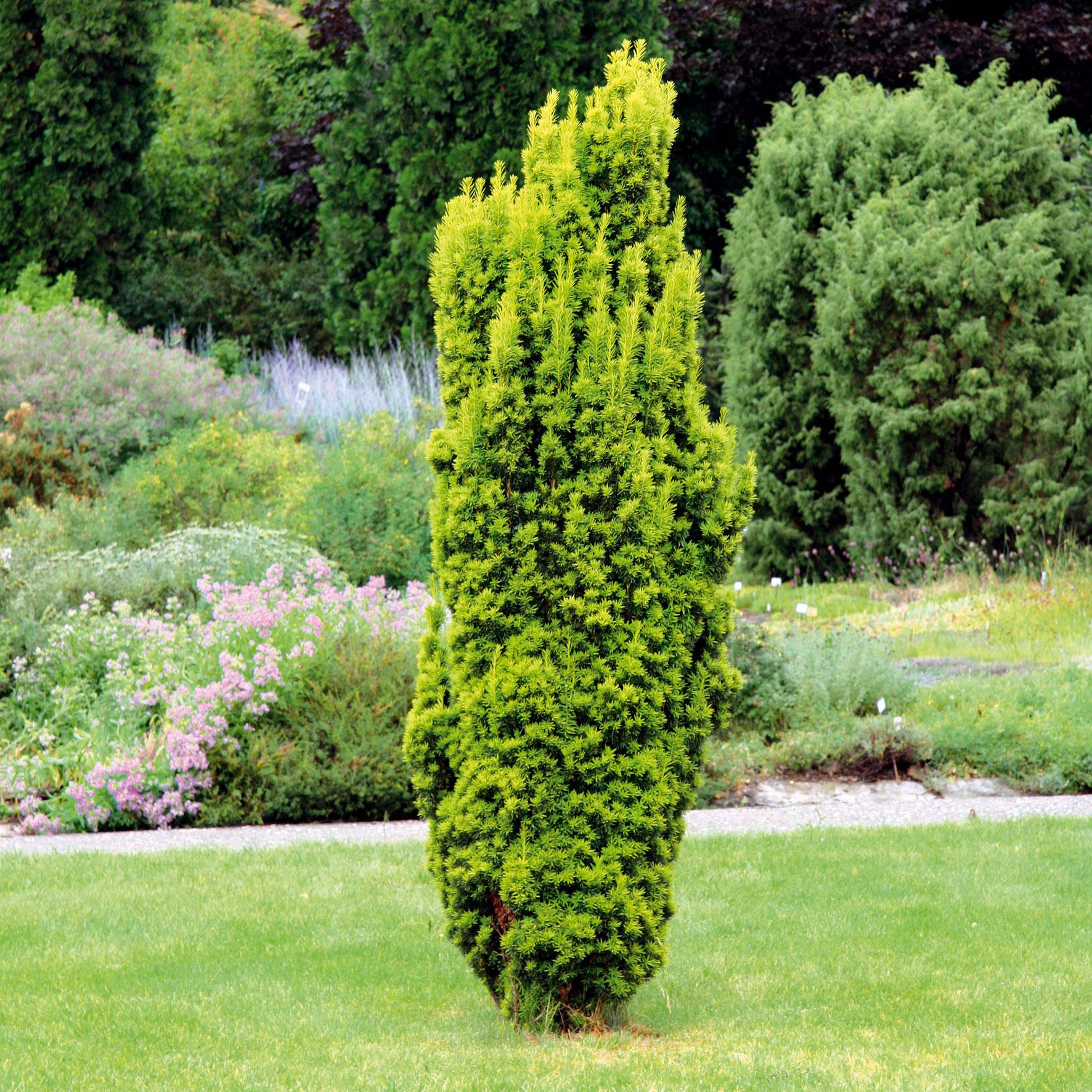 Tis červený (Taxus baccata 'David')
