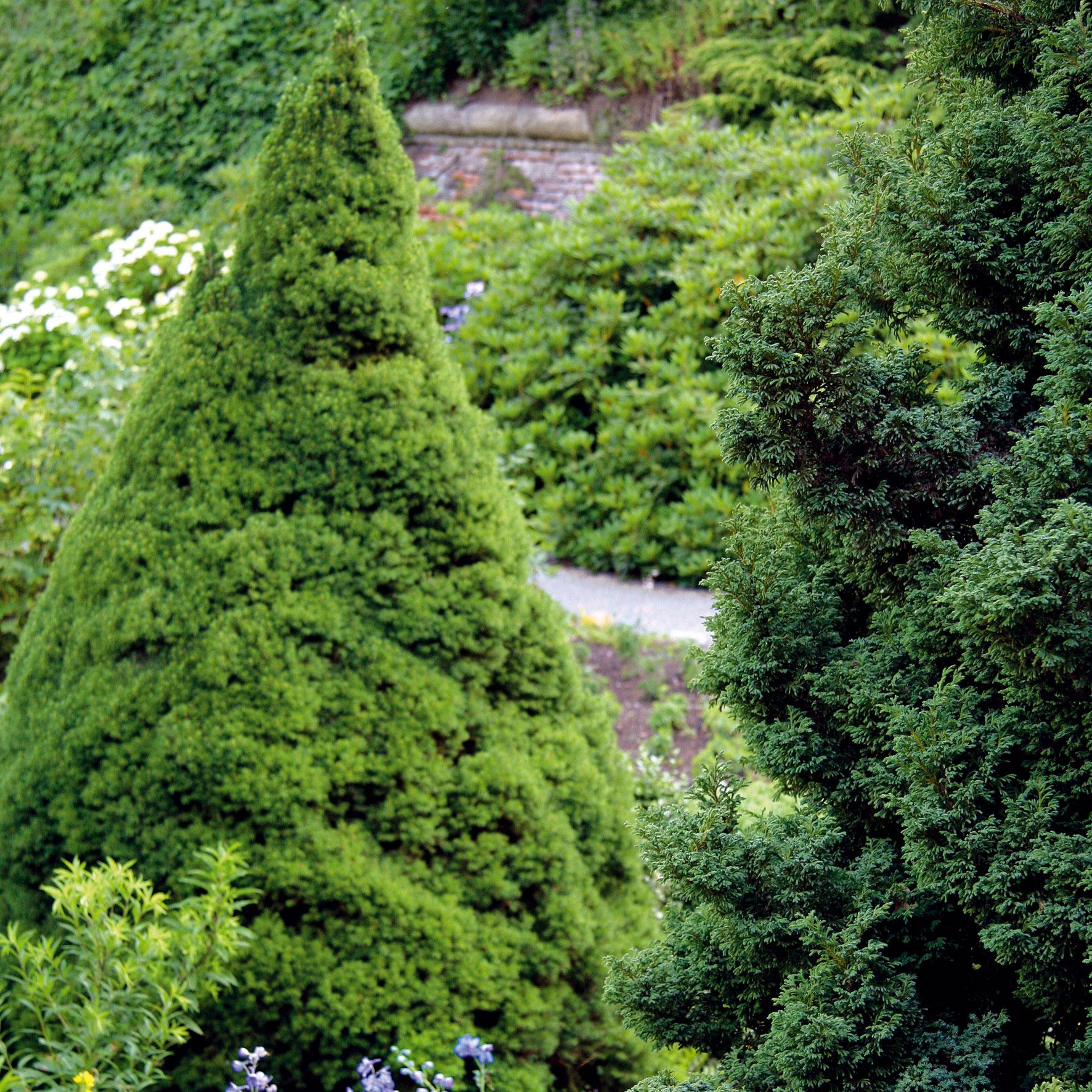 Smrek sivý (Picea glauca 'Conica')