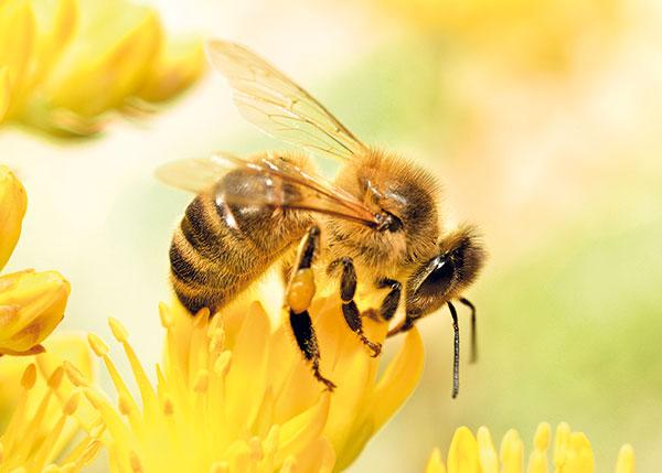 včela a kvet