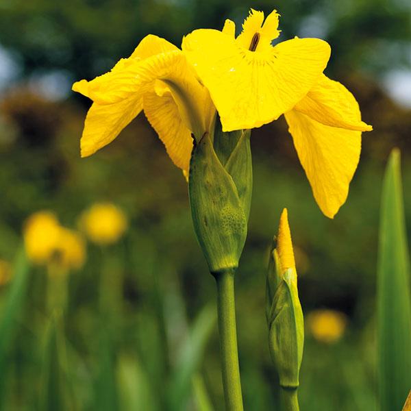 kosatec žltý