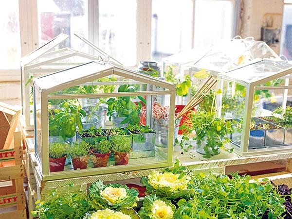 Rovnako ako vskleníku, aj vparenisku treba vetrať aobčas umyť okná, aby sa kpriesadám dostalo čo najviac svetla.