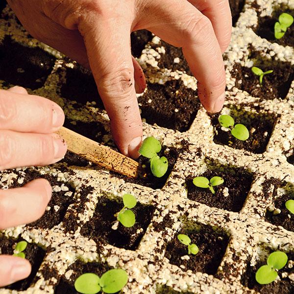 Rastlinky presádzame do nádob na priesady, tzv. zakoreňovačov, alebo menších črepníkov.
