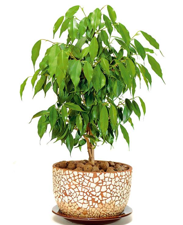 Fikus malolistý (Ficus benjamina)