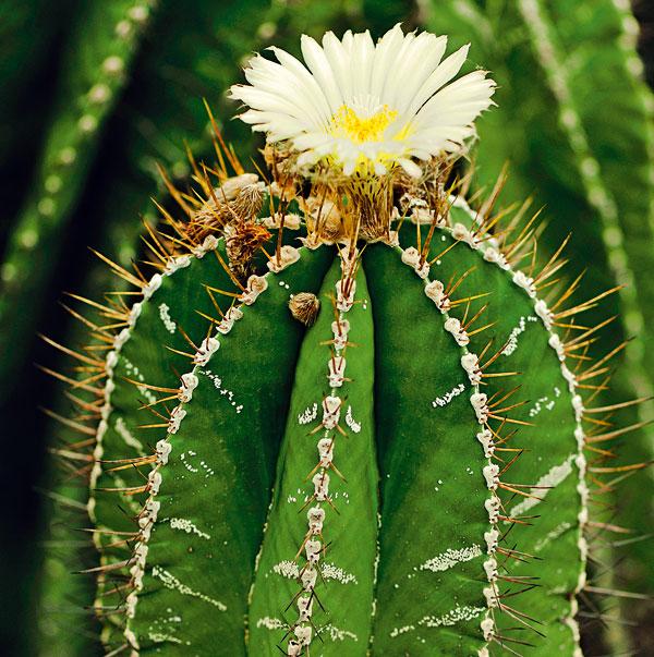 Kaktus (Cereus peruvianus)