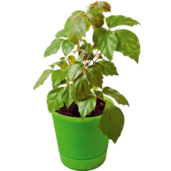 Cisus kosoštvorcový (Cissus rhombifolia)