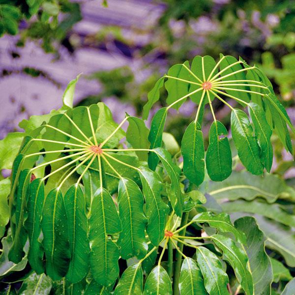 Šeflera  (Schefflera actinophylla)