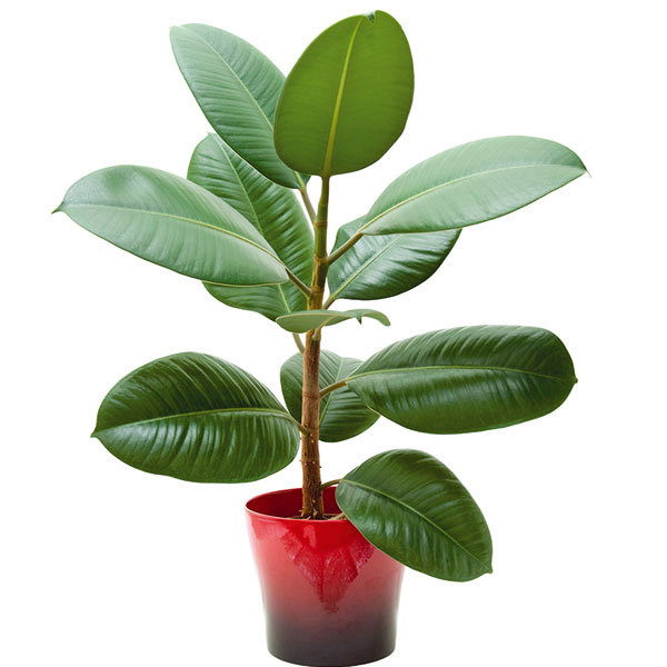 Figovník  (Ficus elastica, F. lyrata)