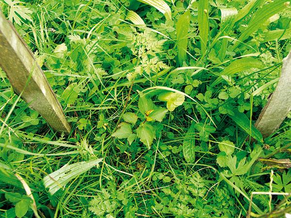 semenáč marhule