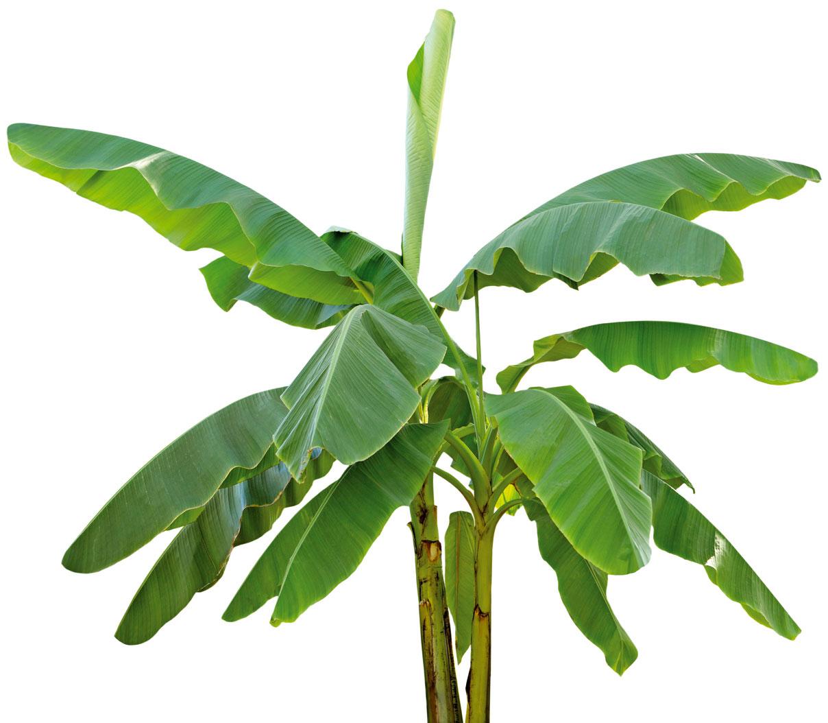 Veľké, rozložité listy banánovníka majú rôzne využitie