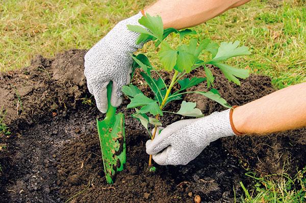 Prihnojovanie: vermikompost nasypeme na povrch substrátu okolo rastliny.