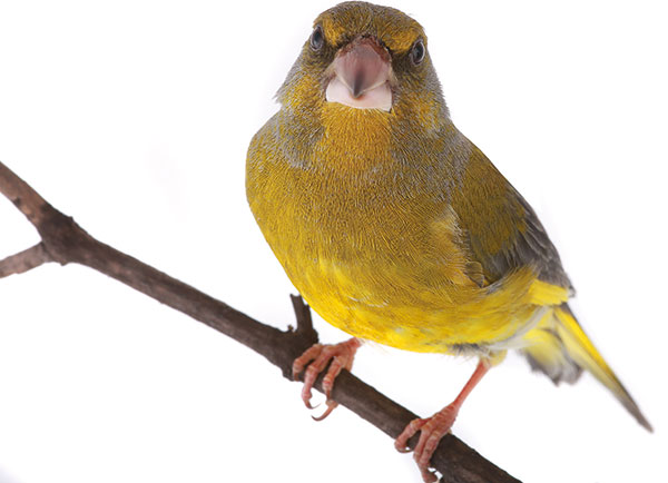 obrázky, ak veľké vtáky Naomi análny Creampie