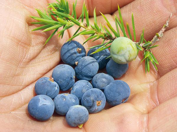 plody borievky