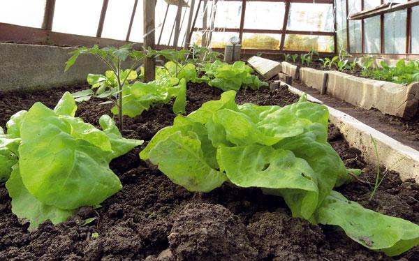 Šalát je priam stvorený nie je náročný na svetlo, na zimné pestovanie vo vykurovanom skleníku alebo vparenisku, ale pre zýšený obsah dusičnanov ho musíme tri dni pred zberom prisvetľovať.
